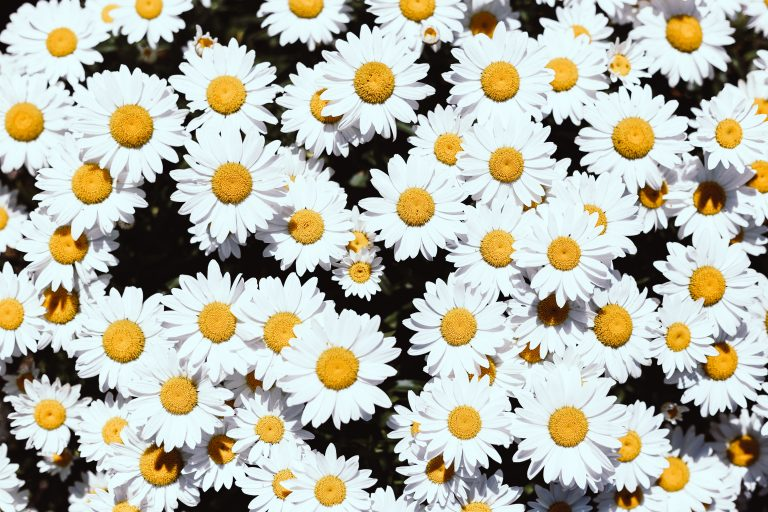 Daisies for Towards Best Practice blog